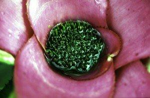 coeur d'un Neoregelia faisant réserve d'eau, lieu de vie et de mort de larves de moustiques (image Roseline MANIERE)
